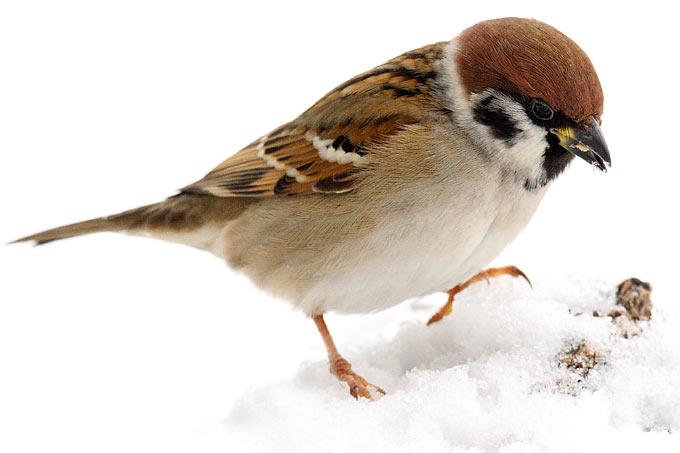 stunde der wintervögel  nabu sachsenanhalt